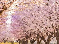 ピンク色をきれいに撮るには?プロが教える桜の撮影術