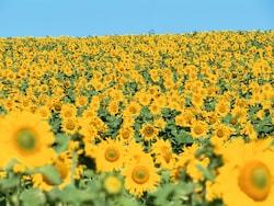 まだ間に合う!一面の「ひまわり畑」が見られる絶景スポット5選
